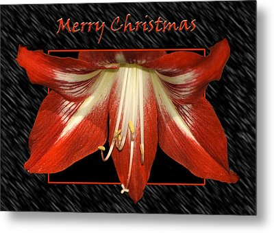 Christmas Amaryllis Metal Print by Carolyn Marshall