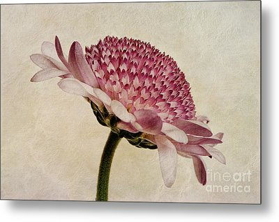 Chrysanthemum Domino Pink Metal Print by John Edwards