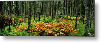 Cinnamon Ferns And Red Spruce Trees Metal Print by Panoramic Images