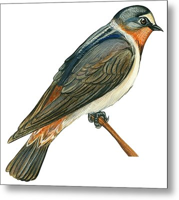 Cliff Swallow  Metal Print by Anonymous