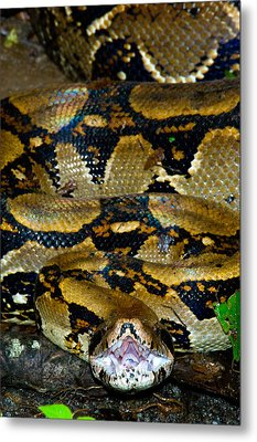 Close-up Of A Boa Constrictor, Arenal Metal Print by Panoramic Images