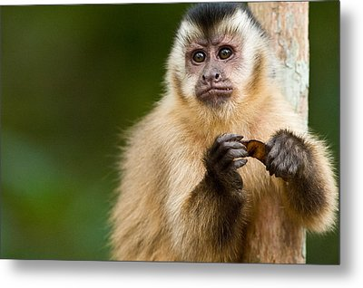 Close-up Of A Brown Capuchin Cebus Metal Print by Panoramic Images