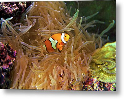 Close Up Of A Clown Fish In An Anemone Metal Print by Miva Stock