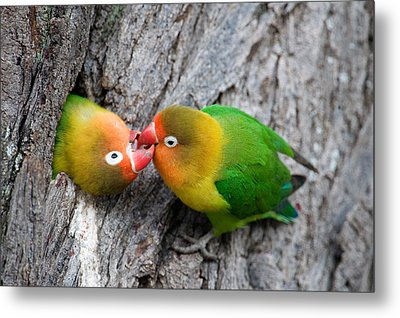 Close-up Of A Pair Of Lovebirds, Ndutu Metal Print by Panoramic Images