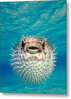 Close-up Of A Puffer Fish, Bahamas Metal Print by Panoramic Images