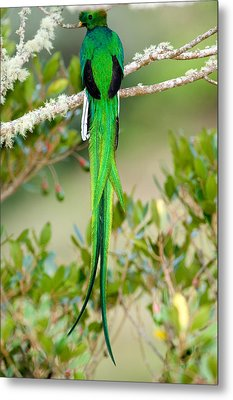 Close-up Of A Resplendent Quetzal Metal Print by Panoramic Images