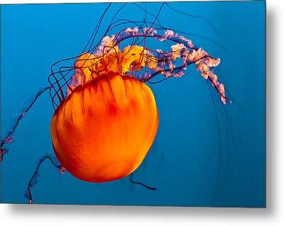 Close Up Of A Sea Nettle Jellyfis Metal Print by Eti Reid