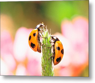 Close Up Of Two Ladybugs Metal Print by Panoramic Images