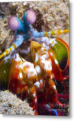 Close-up View Of A Mantis Shrimp Metal Print by Steve Jones