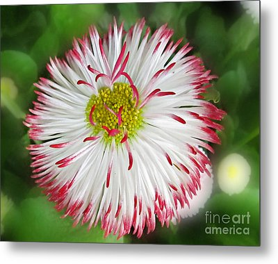 Closeup Of White And Pink Habenera English Daisy Flower Metal Print by Valerie Garner
