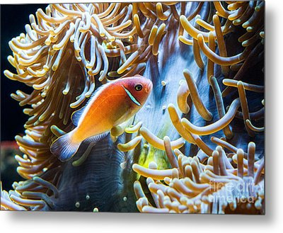 Clown Fish - Anemonefish Swimming Along A Large Anemone Amphiprion Metal Print by Jamie Pham