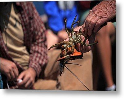 Coastal Maine Is Lobster Metal Print by Karol Livote