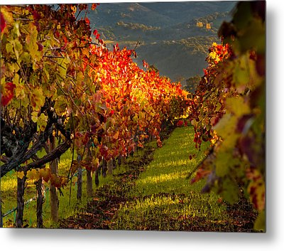Color On The Vine Metal Print by Bill Gallagher