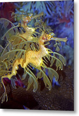Colorful Leafy Sea Dragons Metal Print by Donna Proctor