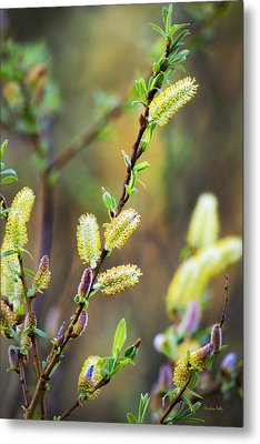 Colorful Spring Pussy Willows Metal Print by Christina Rollo