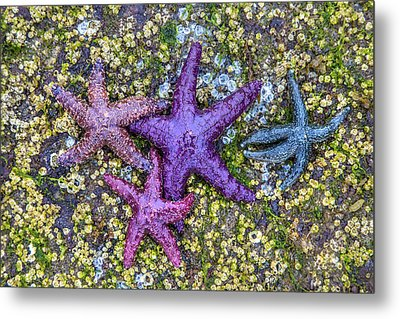 Colorful Starfish Bc Metal Print by Pierre Leclerc Photography