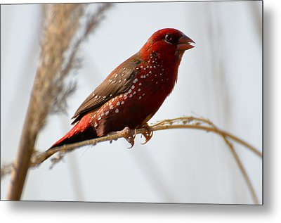 Colour Me Red Metal Print by Fotosas Photography
