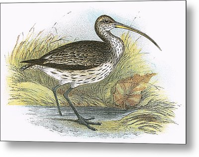 Common Curlew Metal Print by English School