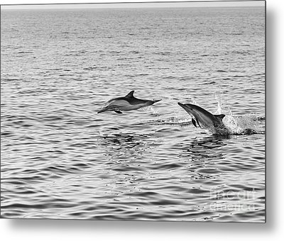 Common Dolphins Leaping. Metal Print by Jamie Pham