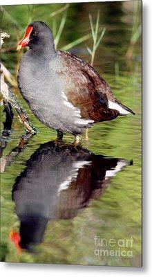 Common Moorhen Gallinula Chloropus Metal Print by Millard H. Sharp