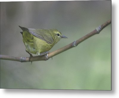 Common Yellowthroat Female Metal Print by Graham Foulkes