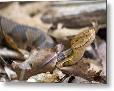 Copperhead In The Wild Metal Print by Betsy Knapp