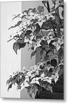 Cornus Kousa Chinese Dogwood Black And White Metal Print by Gill Billington