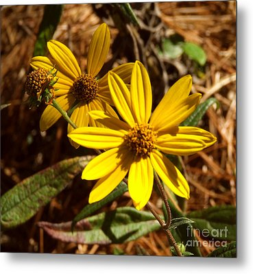 Cosmos Flower Metal Print by Andrea Anderegg