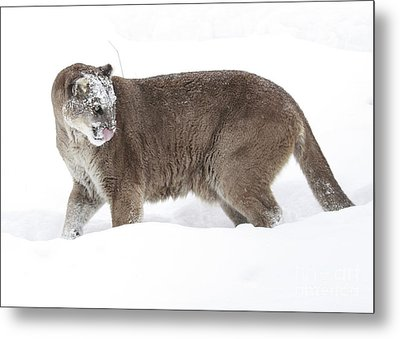 Cougar On A Winter Prowl Metal Print by Inspired Nature Photography Fine Art Photography