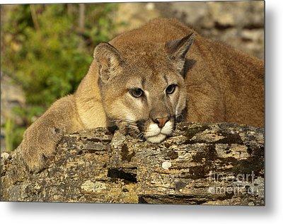Cougar On Lichen Rock Metal Print by Sandra Bronstein