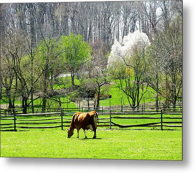 Cow Grazing In Pasture In Spring Metal Print by Susan Savad
