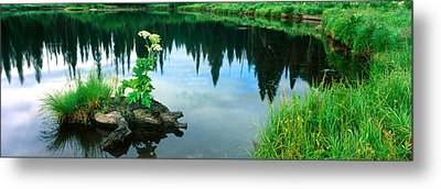Cow Parsnip Heracleum Maximum Flowers Metal Print by Panoramic Images