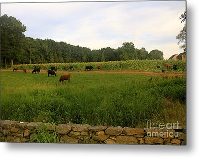 Cows At Buttonwood Metal Print by Dorothy Drobney