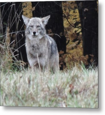 Coyote Number Four Metal Print by Todd Sherlock