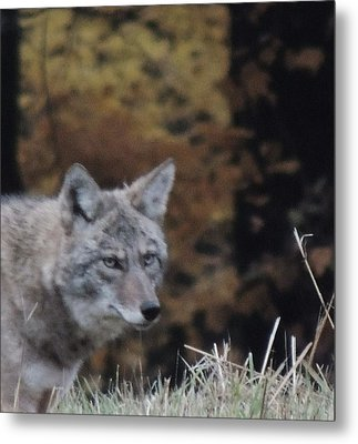 Coyote Number One Metal Print by Todd Sherlock