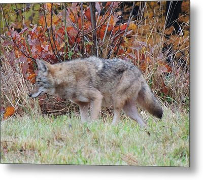 Coyote Number Two Metal Print by Todd Sherlock