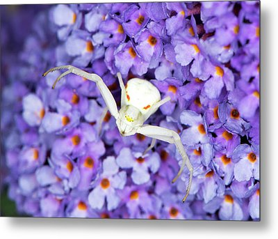 Crab Spider On A Buddleia Flower Metal Print by Louise Murray