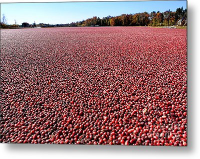 Cranberry Bog In New Jersey Metal Print by Olivier Le Queinec