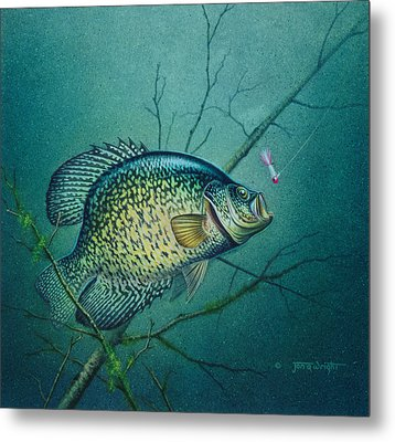 Crappie And Pink Jig Metal Print by Jon Q Wright