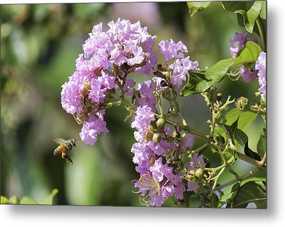 Crepe Myrtle And Honey Bee Metal Print by Jason Politte
