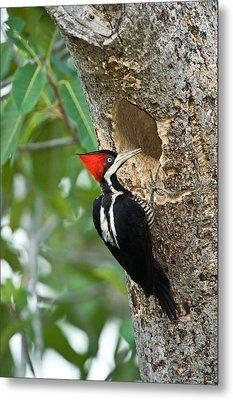 Crimson Crested Woodpecker Campephilus Metal Print by Panoramic Images