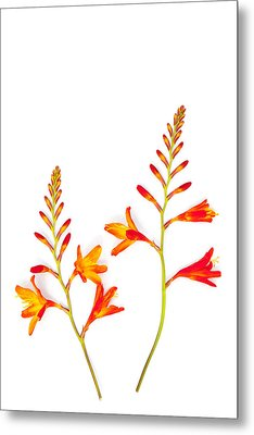 Crocosmia On White Metal Print by Carol Leigh