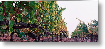 Crops In A Vineyard, Sonoma County Metal Print by Panoramic Images