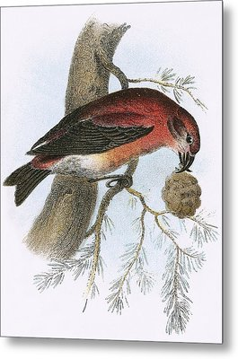Crossbill Metal Print by English School