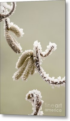 Crunchy Catkins Metal Print by Anne Gilbert