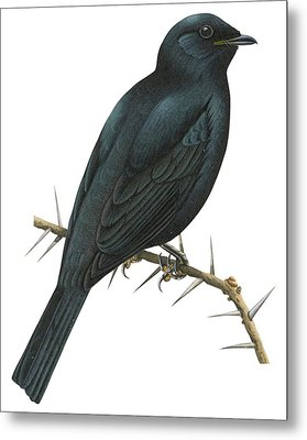 Cuckoo Shrike Metal Print by Anonymous