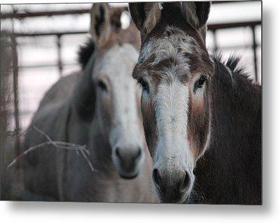 Curious Donkeys Metal Print by Lorri Crossno