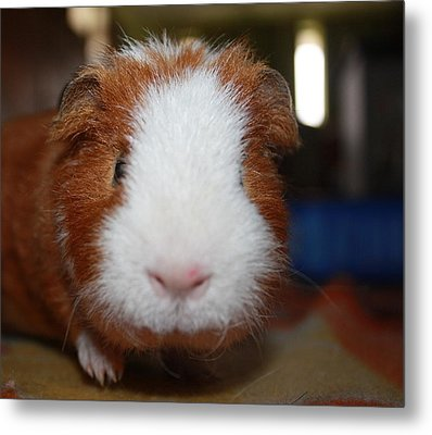 Curly The Guinea Pig Metal Print by Victoria Roehrig
