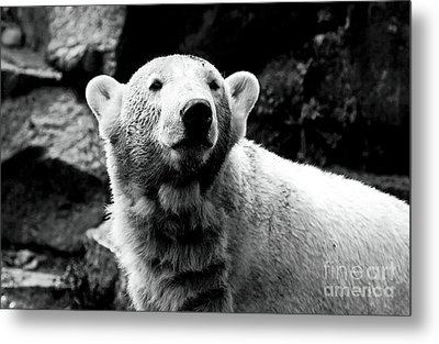 Cute Knut Metal Print by John Rizzuto