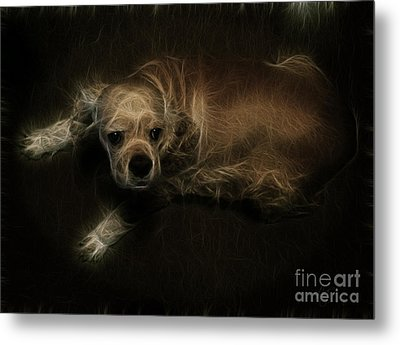Dodger The Cocker Spainel Metal Print by Amanda Collins